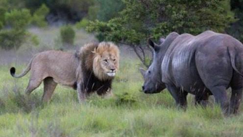 怀孕的犀牛身陷水潭,不幸被狮子发现,看犀牛如何自救脱险