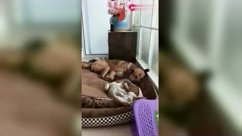 姐姐给买的新窝!哥俩睡得可香了!