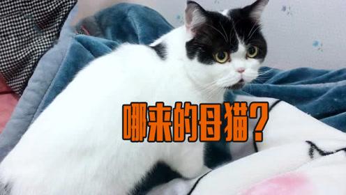 手机放小猫叫声,大猫吃醋了气得咬被子,还变成话痨一直叫!