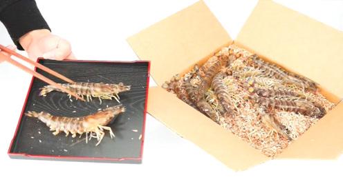 斑节虾快递开箱,到手了都还会蹦跶!