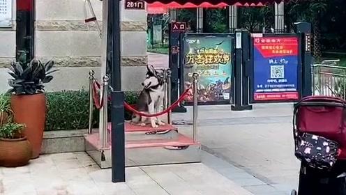 哈士奇:不做加班狗下班立马走,第一次见找二哈当门卫的,太有意思了!
