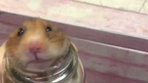 仓鼠钻进瓶子里出不来,主人想尽办法也没用,这也太可怜了吧!
