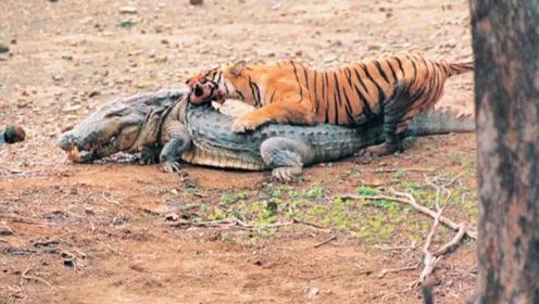 致敬老虎女王玛琪莉,真正网红老虎,这一张照片价值千万!