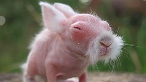 刚出生的小兔,为什么兔妈妈会选择咬死它们?不是兔妈的错!