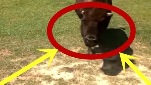 这牛是怎么了,竟然做出这样奇葩的表情,小编也是服的五体投地!