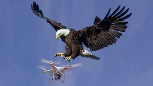无人机正在航拍,一只老鹰突然飞过来,下一秒悲剧的事情发生了