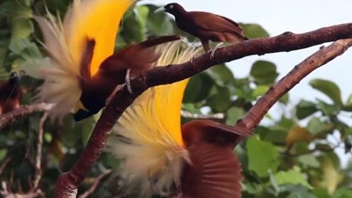 最漂亮的鸟类家族,不会唱歌,却是舞蹈界的佼佼者