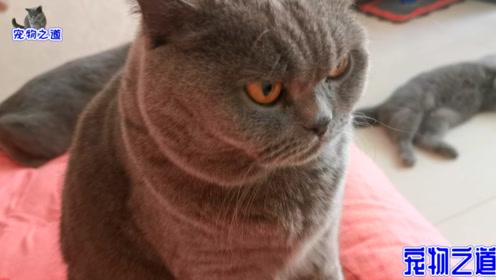 大清早,胖猫一家占了主人的床,有卖萌的有要肉吃的,画面真热闹