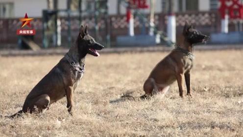 狗到中年功力不减,这对双胞胎都是功勋犬