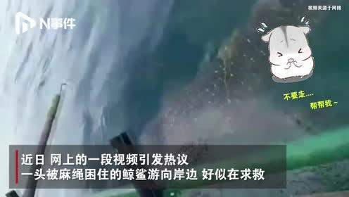 """马来西亚一鲸鲨被麻绳困住主动向渔民""""求助"""",乖巧等待解救"""
