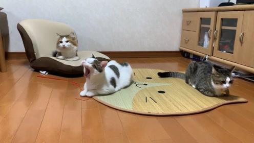 可爱小动物:小花猫在一起玩耍,哈哈