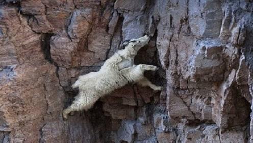 """世界上最神奇的山羊,能在悬崖上飞檐走壁,被称为""""轻功大侠"""""""