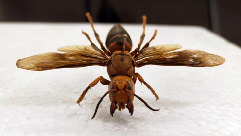 生活在日本上空的飞行怪物,同种类中个头世界最大