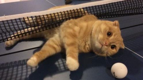 猫咪和主人打乒乓球,躺着都比主人打的好,镜头记录全过程