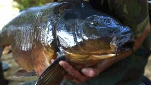 鲤鱼浑身发黑,全身没有一片鳞片,这才是真正的野生鲤鱼!