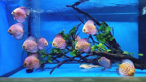 精养的10多条七彩神仙鱼,第一感觉特别美,尤其是它们抢食的时候