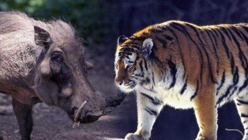 打龙打虎不打野猪,一猪二熊三老虎,难道野猪比老虎和熊还厉害