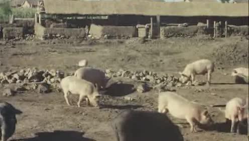 日本人拍摄的1966年东北农村 看看人民公社怎样养猪的!