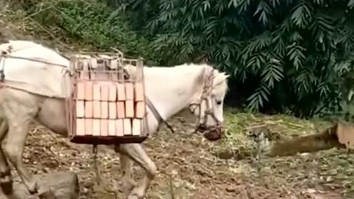 其实马也是人类的忠实朋友,它们不光是一种交通工具,也能像牛一样干农活!