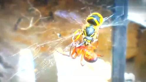"""黄蜂不幸落入蜘蛛网,蜘蛛为了安全起见,手脚麻利的将它打包成一个""""粽子"""""""