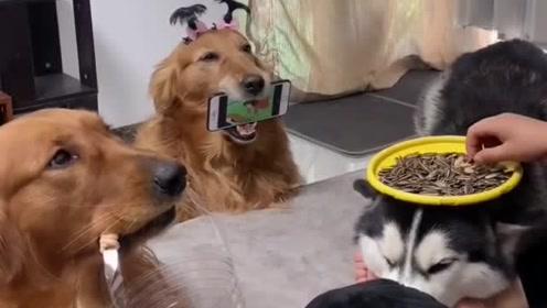 男子养三只狗,把二哈当凳子金毛当桌子,这训练出来的水平好厉害