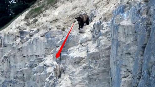 山羊母子惨遭棕熊追杀,无奈逃到悬崖边上,这才逃过一劫