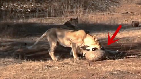 穿山甲闯入狮子领地,结果被狮子按在地上一顿盘,看完忍住别笑!