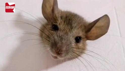 笑哭!老鼠因太胖被卡墙上,住户:每天晚上上厕所看着我尴尬