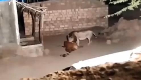 狮子进村捕杀黄牛,被男子发现,一棒子过去,下秒憋住别笑