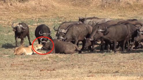 """狮子准备开饭,结果被数百头野牛围观""""要牛"""",场面震撼不敢不怂"""