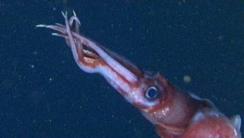 为什么鱿鱼看到人类落水,就把人往深海拖?答案让人背后一凉