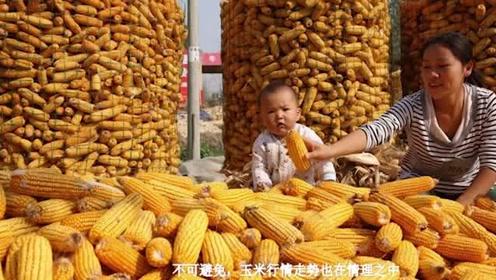 国家队入市收粮,玉米价格大涨有希望吗?来看最近行情