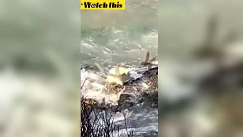 实拍鲨鱼为了饱餐一顿 竟然跳上岩石觅食沙丁鱼