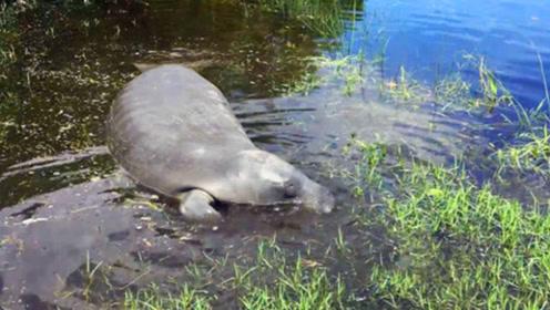 钓鱼小伙发现河边水草丛里异常,走进一看愣住了,这是牛还是鱼?