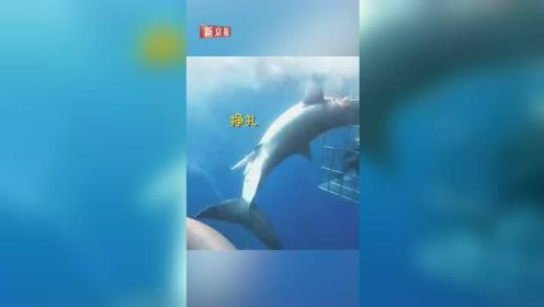 珍稀大白鲨被困潜水笼苦苦挣扎25分钟 游客眼睁睁看它失血而亡
