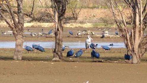 云南剑湖3万候鸟越冬,成冬日观鸟打卡地,有紫水鸡最大种群