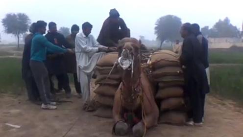 一只骆驼驮运30袋粮食,重达2000斤,累得直接吐白泡沫