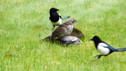 雀鹰捕食鸽子,却被喜鹊骚扰,镜头记录全过程