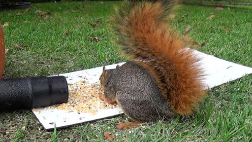 男子在吹风机面前放上食物,小松鼠上当了,镜头记录搞笑画面