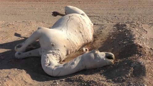 沙漠里的骆驼渴死后,为啥不能让人碰?看完涨知识了