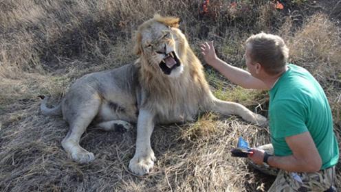 饲养员给雄狮梳毛,雄狮一百个不愿意,结果饲养员直接一巴掌!