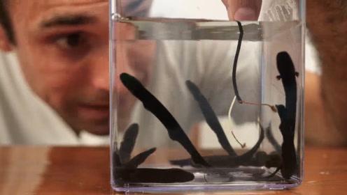 """电鳗怕电吗?把电鳗放入水中后通电,网友:也怕变成""""烤鱼""""?"""