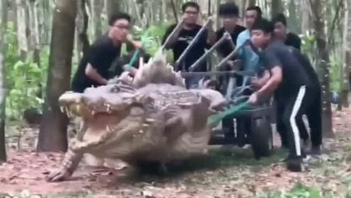 差点就以为史前巨鳄被抓了,这道具也太逼真了!原来是剧组正在拍摄。