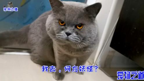 都说猫对这种声音特敏感,主人试了一下,几只猫的反应竟出奇一致