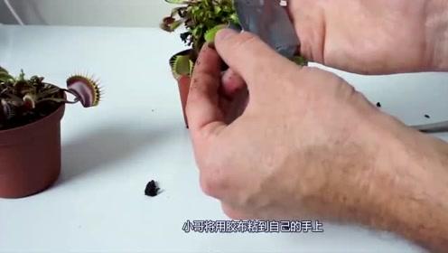 老外将手指放入捕蝇草一天,亲测其威力,结果会怎样?