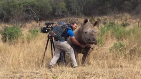 犀牛突然冲到摄影师面前,本以为要攻击,不料接下来画风突变