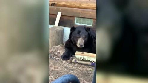 大黑熊木屋下冬眠被吵醒 镜头记录黑熊睡眼惺忪一幕