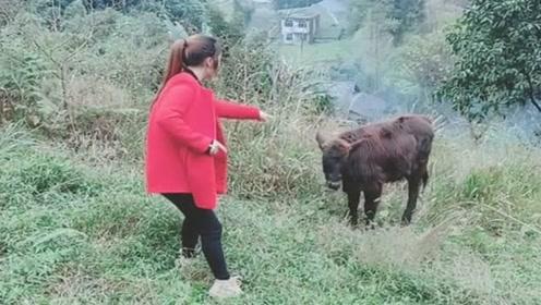 牛这么老实,美女居然使美人计,人家都不好意思了!