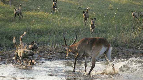 野狗群包围受伤羚羊!羚羊机智应对,结局有点意外!
