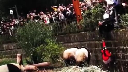 """惊险!小女孩掉进饲养池中,熊猫纷纷上前""""围观""""群众惊慌尖叫"""
